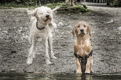 """""""You mean THAT is how I have to dry off?"""" (Russ Beinder) Tags: bc buntzenlake canada goldendoodle goldenretriever nora nugget dogs puppy shake swimming exif:focallength=105mm exif:aperture=ƒ80 exif:make=nikoncorporation geocity geostate exif:model=nikond810 exif:lens=7002000mmf28 exif:isospeed=800 geocountry geolocation geo:lon=12285518055555 geo:lat=49340675 camera:model=nikond810 camera:make=nikoncorporation 70200mmf28 1"""