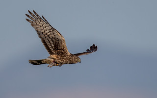 Northern Harrier with prey