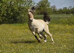 Shake It Out (FlorDeOro) Tags: nikon d90 tamron16300mm photography nature horse equine field summer gotland mijarajc