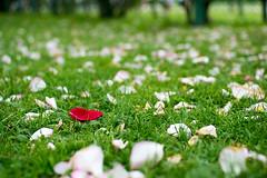 Loner (Gorky1985) Tags: rose flower grass roses wien white vienna austria garten garden volksgarten nikon spring nikkor flowers blumen 30mm 18 goran cosic colors