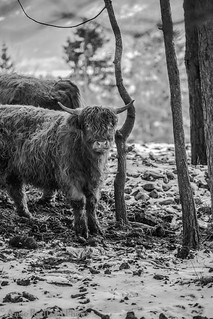 Highlander cattle ~~