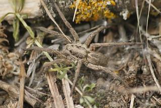 Lycosa tarantula (lycosidae) - Araña Lobo Tarántula