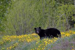 SO MANY DANDELIONS TO EAT.... SO LITTLE TIME  - (Selected by GETTY IMAGES) (DESPITE STRAIGHT LINES) Tags: nikon d800 nikond800 nikkor200500mm nikon200500mm nikongp1 paulwilliams despitestraightlines flickr gettyimages getty gettyimagesesp despitestraightlinesatgettyimages bear blackbear babyblackbear wildanimal wildbear claws paw paws fur nature mothernature ursusamericanus animalia carnivora ablackbeareatinggrass blackbearonalaskahighway morleylake morleylakebc teslin dandelion dandelions beareatingdandelions blackbeareatingdandelions dandelionbear