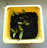 Coriander (Elise de Korte) Tags: fr france frankrijk ldf lafrance lenovo marokkaans bloempot campagne country garden jardin koriander kruid kweekgoed mobiel plant platteland tuin