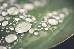 Drips, Drops and Splashes (Elena L-v) Tags: macromonday dripsdropsandsplashes hosta