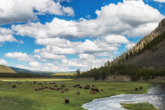 Bison graze along the Madison River in Yellowstone National Park