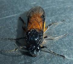Rose sawfly - Arge ochropus (John Steedman) Tags: insect argeochropus argidae arginae hymenoptera