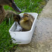 Duckling playing in water