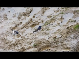 house martins mud collecting video