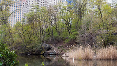 Resident Egret (WalrusTexas) Tags: centralpark pond architecture bird trees reeds anthropocene