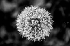 You are never given a wish without also being given the power to make it come true. You may have to work for it, however. ~Richard Bach (Koch'93) Tags: dandelion makeawish monochrome macro münchen münchencity munich munichcity nikon nikond5000 depthoffield