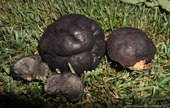 Daldinia concentrica (José Manuel, thanks for +450,000 views) Tags: daldinia concentrica cramp balls coal fongs hongos mushroom seta bolet champignon