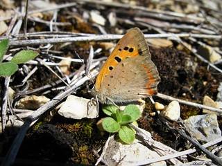 Butterfly 1336