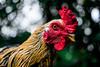 galo (Urbanatus) Tags: galo galinha cor