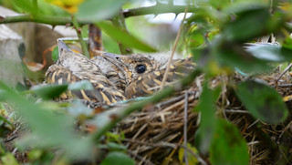 thrushes in a bush