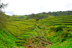 green valley (ekelly80) Tags: azores portugal sãomiguel may2017 teaplantation tea greentea chágorreana green valley trees rows leaves tealeaves