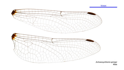Archaeosynthemis spiniger male wings