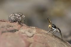 Courtship ritual (Tom Rop) Tags: aelurillus vinsignitus spider araignée sauteuse jumping salticidae