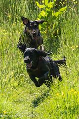 pals in action (RCB4J) Tags: ayrshire nature rcb4j ronniebarron scotland sigma150500mmf563dgoshsm sonyilca77m2 art falcon perigine photography raptor wildlife dogs sprocker siameselurcher lilahbeaugregard babygrace dobermanterrier fun sunshine play explored