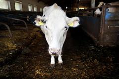 pawu011 (Otwarte Klatki) Tags: krowa krowy mleko zwierzęta cielak ferma andrzej skowron