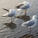 Sea Gulls  at Sandgate (8)