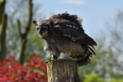 Making itself bigger than it is... (JerryGoulet) Tags: gauntletbirdsofpreyeagleandvulturepark wildlife outdoors nikon nature park zoo england birdsofprey owl
