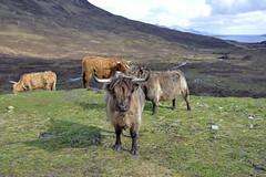 kyloe, Isle of Skye in Scotland  -  (Selected by GETTY IMAGES) (DESPITE STRAIGHT LINES) Tags: heilancoo highlandcow highlandcows kyloe cow cattle heilancoosinscotland highlandcattleinscotland horns day cloud landscape nikon d800 nikond800 nikon2470mm nikkor2470mm paulwilliams despitestraightlines flickr getty gettyimages highlands scottishhighlands boghaidhealach brindled fur grass field pasture farm farming hoof hooves dof photo photography frame raw image animal sconser luib lochainort isleofskye lochsligachan lochcairidh gettyimagesesp despitestraightlinesatgettyimages paulwilliamsatgettyimages
