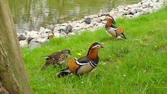 Mandarin ducks (Bambizoe) Tags: dresden 2017 aix galericulata aixgalericulata mandarinente mandarin duck mandarinduck μανδαρίνοσ canard canardmandarin мандаринка