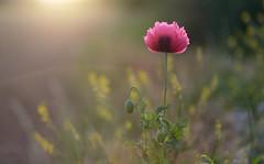 The Only Poppy.. (KissThePixel) Tags: poppy poppies sunset sunlight meadow summer summerdays summernights macro bokeh softbokeh pink pinkflowers flowers flower wildflower nature nikondf sigmaart 14 f14