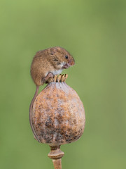 Harvest mouse on a pod! (susie2778) Tags: olympus omdem1mkii 60mmmacrof28 harvestmouse seedpod studio flash captivelight captive