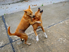 ,, Playing ,, (Jon in Thailand) Tags: playfighting dog dogs k9 k9s jungle mama rocky nikon d300 nikkor 175528 tails ears paws bigfun monkeywound whitesox motherson littledoglaughedstories