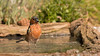 Fringuello  Maschio (Pietro Zucchelli) Tags: pizetaphoto fringillacoelebs fringuello finch wildlifephotography wild wildlife naturephoto acqua bagnetto shower