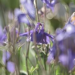 Bleu tendresse (nathaliedunaigre) Tags: fleurs flowers ancolie bleu blue bokeh effetbokeh carré square printemps spring sunny ensoleillé parc garden park