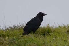 Raven (James Oliver Lewis) Tags: raven portlandbill portland bill dorset nikon d3200 nature wildlife bird