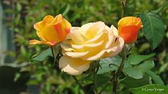 r o s e s (✿ Graça Vargas ✿) Tags: flower graçavargas ©2017graçavargasallrightsreserved rose rosa bud 14107310517 kotor greece