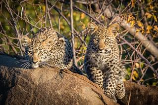 Leopardo - Leopard (Panthera pardus)