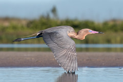 Flying on By (Melis J) Tags: egrettarufescens reddishegret wadingbird birdinwater birdinflight bif red lagoon fortdesoto billbreeding plumagenikon d500nikon 300 f4 florida pink water bird