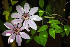 X..X (Siuloon) Tags: flowers flor flores floraciones flower fiore kolor kwiat kwiaty green zielony przyroda wiosna spring słońce sun roślina ogród