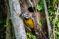 Female Common Flameback (BP Chua) Tags: bird nature wild wildlife animal woodpecker mother nest hole singapore chinesegarden tree common flameback nikon d750 telehphoto