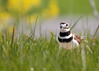 _53F6859 Killdeer (~ Michaela Sagatova ~) Tags: birdphotography canonphotography killdeer michaelasagatova plover