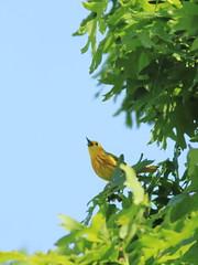 Yellow Warbler 20170527 (Kenneth Cole Schneider) Tags: illinoiskanecounty batavia nelsonlakemarshdickyoungforestpreserve