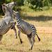 A striped disagreement...
