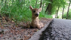 I found this dear deer along the road I cycle to work yesterday. (Drummerdelight) Tags:
