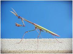 MANTIS PALO (BLAMANTI) Tags: insectos insectospalo mantis extraterrestre color terrorifico hermoso