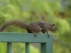 In search of a better life on the other side (Robert-Ang) Tags: orientalsquirrel tricoloredsquirrel plaintainsquirrel squirrel wildlife nature chinesegarden japanesegarden singapore bordercrossing animalplanet