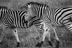 DSC_0373 (Miss Mary D) Tags: kruger national park south africa wildlife safari nature zebra