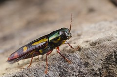 "Metallic woodboring beetle • <a style=""font-size:0.8em;"" href=""http://www.flickr.com/photos/60429854@N05/34886374150/"" target=""_blank"">View on Flickr</a>"