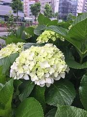 2017-05-31 06.02.21 (Darjeeling_Days) Tags: iphone6 東京都 jp 日本 紫陽花 あじさい 華 花 茅場町