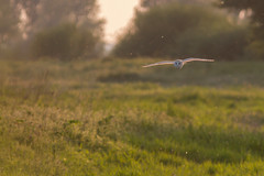 Barn Owl (Tyto alba) (EddieFinnis) Tags: flying hunting hunter predator silent ghost white intense backlit sunset dusk last light england fens lakenheath barn owl eyes stare glide soar float green