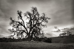 The Calling Tree (StefanB) Tags: 2017 calerocountrypark california geotag hiking nexus6p outdoor tree treescape clouds